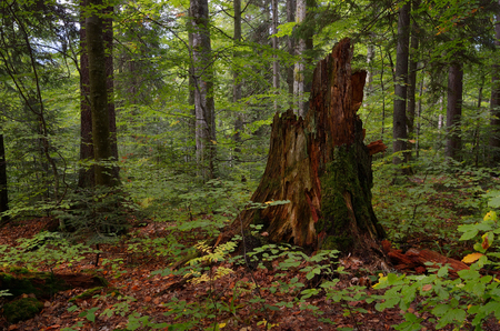 Forest landscape. Collapsed old stump. Autumn in forest