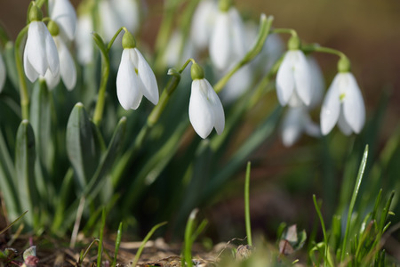 burgeon: Bouquet of spring flowers. White snowdrops blooming in meadow. Sunny weather
