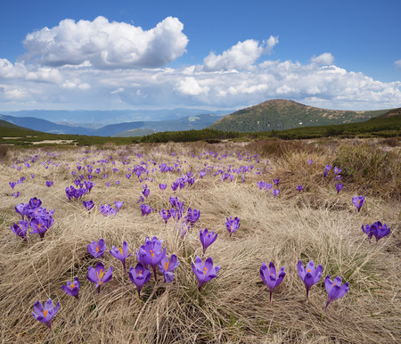 first day: First spring flowers. Mountain landscape with blossoming crocuses in the meadow. Sunny day with blue sky and cumulus clouds. Carpathians, Ukraine, Europe