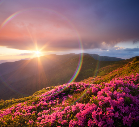 art processing: Summer landscape with pink flowers in mountains. Blooming Rhododendron on the slopes. Beautiful sunset with sunbeams. Circular rainbow. Karpaty, Ukraine, Europe. Art processing of photos. Color toning Stock Photo