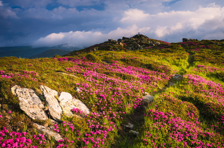 landscape flowers: Summer landscape on a sunny day. Hiking trail in the mountains. Glade with pink flowers. Blooming Rhododendron on the slopes. Beautiful clouds in the sky. Carpathian, Ukraine, Europe