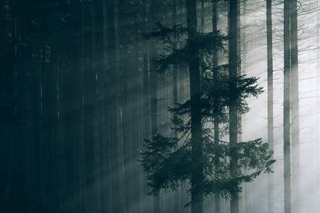 art processing: Fog in the fir forest. Sun rays. Art processing of photos. Low contrast and color toning Stock Photo