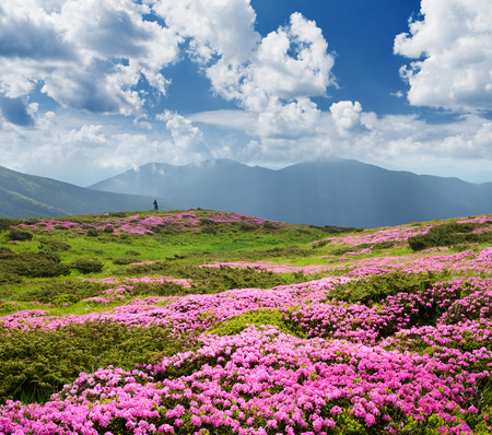 glades: Pink flowers in the mountains. Summer landscape with blooming rhododendron in the meadow. Sunny day and good weather. Karpaty, Ukraine, Europe Stock Photo
