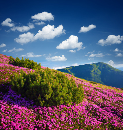 Sunny day in the mountains. Pink flowers in the meadow. Blooming rhododendron in the wild. Alpine pine bush. Sky with beautiful cumulus clouds. Karpaty, Ukraine, Europe Stock Photo