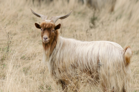 auburn: Auburn goat with beautiful horns. Pasture with dry grass in the mountains