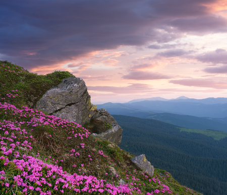 art processing: Mountain flowers in the glade. Blooming pink rhododendron in the wild. Sky with beautiful clouds at sunset. Carpathians, Ukraine, Europe. Art processing photos