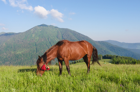 Summer landscape in the mountains. A brown horse with red bows in the pasture. Sunny day. High mountain in the background. Karpaty, Ukraine, Europe