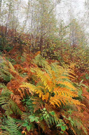 autumn colour: Autumn Landscape with a fern leaf in the forest. Cloudy with fog