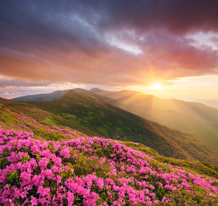 art processing: Mountain flowers in the meadow. Blooming pink rhododendron in the wild. Sky with beautiful clouds at sunset. Collage of two frames. Art processing photos Stock Photo