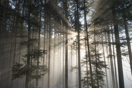 paisaje de otoño en el bosque de abeto con hermosa luz. los rayos del sol y la niebla