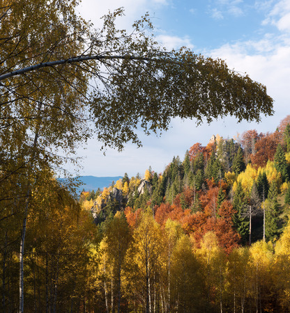 autumn colour: Autumn landscape with a beautiful forest in the mountains. Birch bent down under the weight of snow in the winter. Sunny weather. Carpathians, Ukraine, Europe Stock Photo
