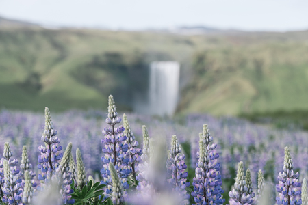Skogafoss Waterfall, Iceland, Europe. Summer landscape with blooming lupines. Cloudy morning. Beauty in nature