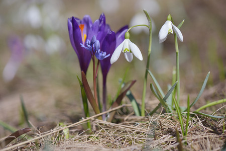 burgeon: Spring flowers. Snowdrops and crocus primroses on sunny meadow