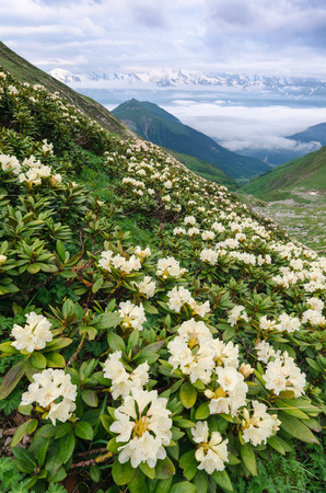 Mountain landscape with meadow of blooming rhododendrons. Morning with beautiful flowers on the mountain slopes. Zemo Svaneti, Georgia