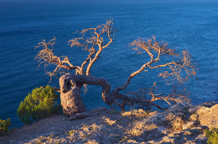 Example of survival in harsh conditions. The old crooked tree grows on the rock. View of the sea. Sunny evening Stock Photo