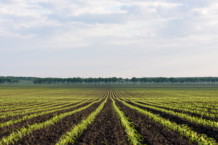 tree farming: Field with rows of young corn. Agricultural land near the village. Spring landscape