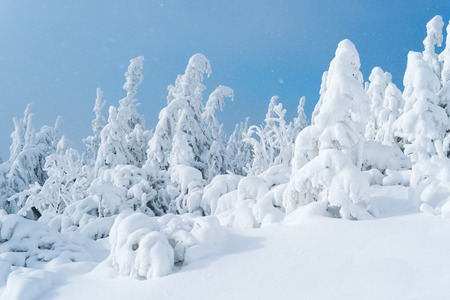 Christmas view. Fir trees in the snow on blue sky background. Sunny day with snowfall in the forest. Beautiful winter Stock Photo