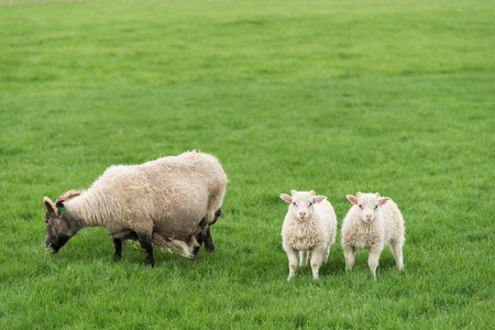 Three white sheep on pasture. Field with green grass in Iceland