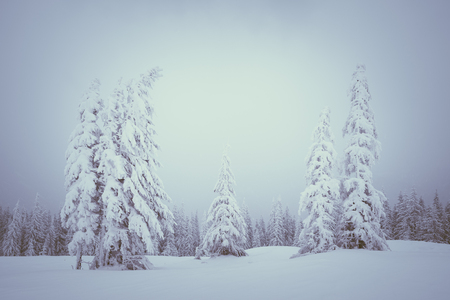 Snowfall in the mountains. Winter landscape with fir forest and fog. Color toning Banque d'images