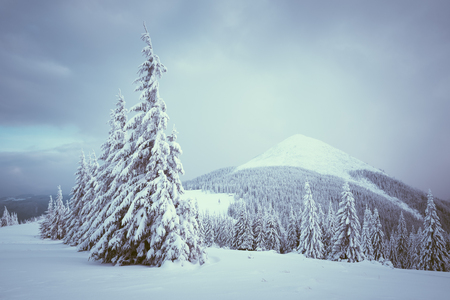 Winter landscape with fir forest covered with snow. Overcast day. Color toning