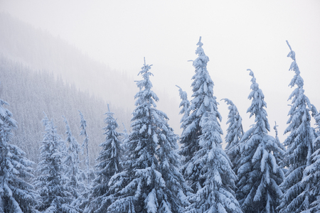 Winter landscape with fir trees in the snow. Fog in the mountains Banque d'images