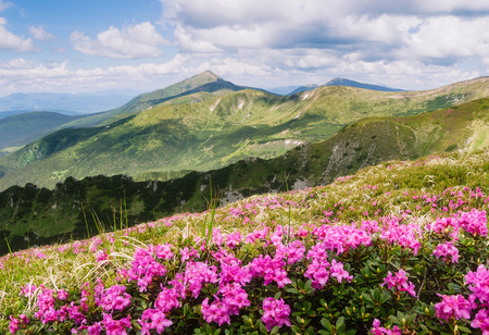 Summer landscape. Pink flowers in the mountains. Blooming Rhododendron in a glade. Beauty in nature. Sunny day