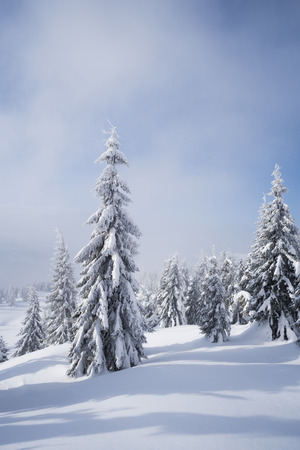 White Christmas. Winter landscape with fir forest in snow. Sunny weather with clouds and fog Stock Photo