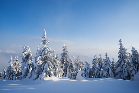 Beautiful winter nature with firs in the snow. Forest landscape. Sunny weather with haze