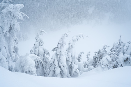 Winter weather with snowdrifts and fog in the mountain spruce forest. Trees curved under the weight of snow