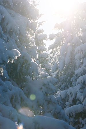 Spruce forest in snow. Winter beauty in nature with backlight. Sunny weather to thaw