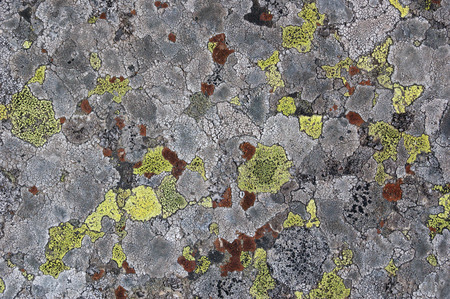 Natural abstract background. Texture of lichen on stone close up