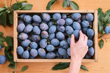 Harvest of plums in a wooden box. The guy takes a hand ripe plum