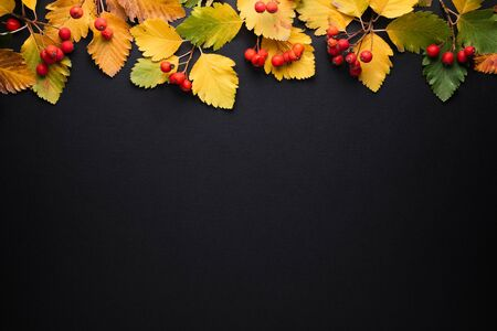 Background with autumn leaves (fall foliage) and copy space on black. Natural border with yellow leaves and red rowan berries Stok Fotoğraf