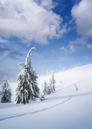 Winter wonderland. Snowy weather in the mountain forest. Spruce trees and footsteps in snow