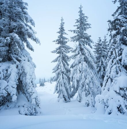 Winter forest. Christmas landscape with fir trees in the snow