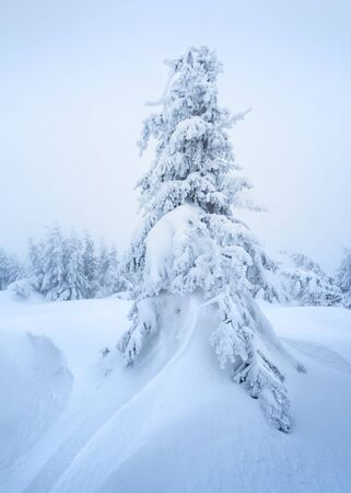 Christmas card with a winter landscape. Snow spruce in a snowdrift