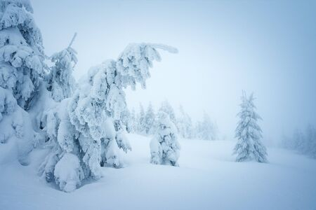 Fairy winter forest in the snow. Christmas landscape with snowy fir trees in the fog Stok Fotoğraf