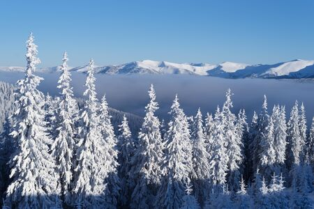 Snowy spruce forest in the mountains. Winter landscape on a sunny frosty day with snowcapped mountain peaks and blue sky
