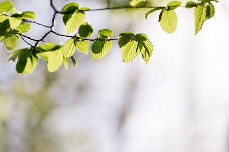 Spring background with green foliage