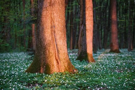 First spring flowers in the forest. Morning landscape with beautiful sunlight Archivio Fotografico