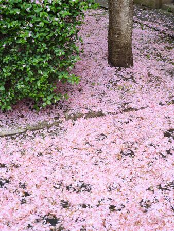 Cherry blossom season. Natural background with fallen sakura petals Archivio Fotografico