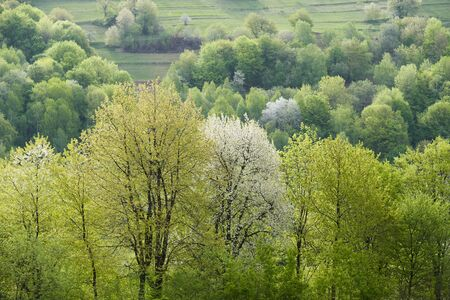 Lush spring foliage. Verdant trees in the green hills. Blooming cherries in a rural garden