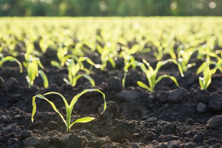 Young corn leaves on the field. Agricultural background