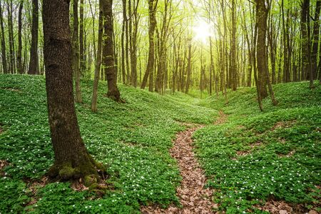 Spring forest landscape with wild white flowers in green vegetation. Morning sunlight. Scenic view with a path between the trees