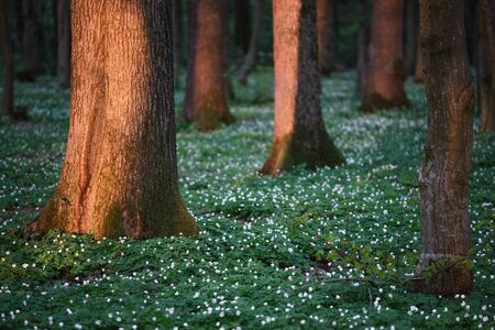 Spring forest with white flowers. Fairytale landscape with big trees