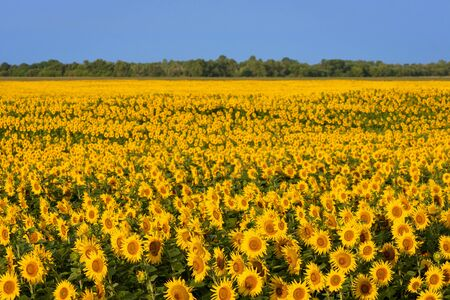 Field of blooming sunflowers. Background for design on an agricultural theme. Sunny landscape in the countryside