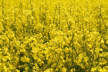 A fragment of a blooming rapeseed field. Yellow agricultural background