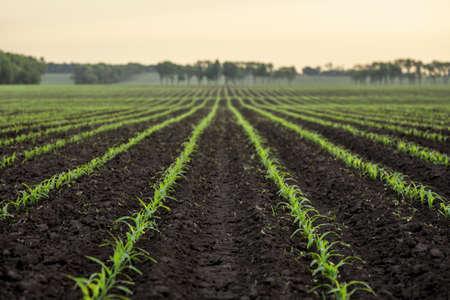 Corn field in defocus. Natural background for agricultural design Archivio Fotografico - 152212577