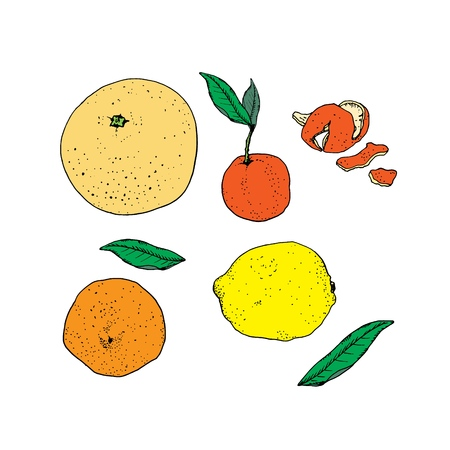Citrus fruits with green leaves isolated on white background. Orange, lemon, grapefruit and tangerine mandarin with peel. Vector illustration, hand drawn in ink Illustration