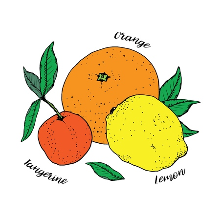Citrus fruits with green leaves isolated on white background. Orange, lemon and tangerine mandarin. Vector illustration, hand drawn in ink